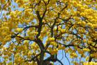 Lapacho de flor amarilla