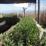 Laureles de jardín
