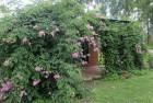 Bignonia rosada (Podranea ricasoliana)
