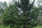 Ciprés de Arizona (Cupressus arizonica)