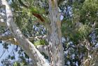 Eucalipto colorado (Eucalyptus camaldulensis)