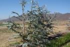 Eucalipto de adorno (eucalipto cinérea)