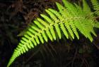 Helecho de selva (Thelypteris decurtata subsp. pratensis)