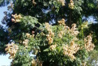 Jabonero de la China (Sapindus chinensis)