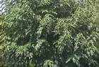 Moreras (Broussonetia papyrifera)