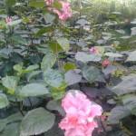 Rosa china doble