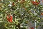 Ceibos (Erythrina crista-galli)