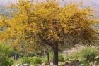 Espinillo – Espino (Acacia caven)
