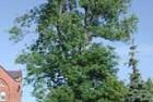 Fresno americano (Fraxinus pennsylvanica)