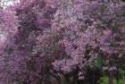 Jacaranda Tarcos (Jacaranda mimosifolia)