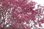 Lapachos rosados (Tabebuia impetiginosa)
