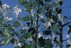 Alamos (Populus alba)