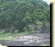 Cebil colorado (Anadenanthera colubrina)